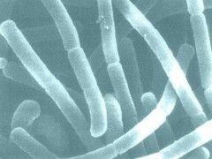 Молочно-кислая бактерия