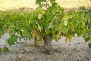Виноград Airen