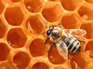 Соты и пчела