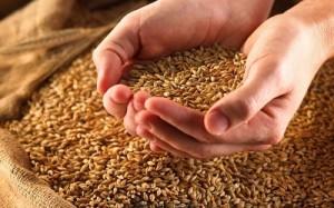 Пшеница в руках